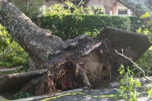 Karyawan Rumah Makan Jadi Korban Pohon Tumbang