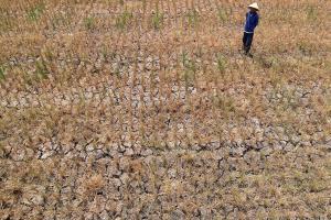 Ribuan Hektar Sawah di Ciamis Terancam Puso