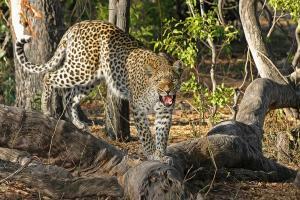 Macan Tutul Ditemukan Mati di Hutan Logawa Bandung
