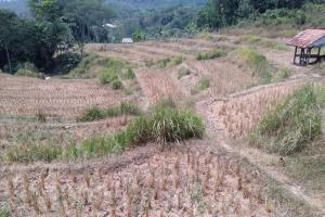 Sawah Gagal Tanam di Karawang Capai Ribuan Hektare
