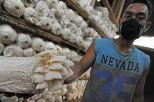 Program Mikoponik Gunakan Limbah Agrikultur