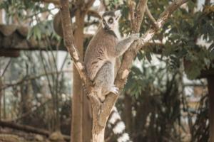 Lihat Lemur Khas Madagskar di Royal Safari Garden
